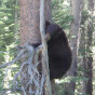Bear in Washoe Meadows State Park